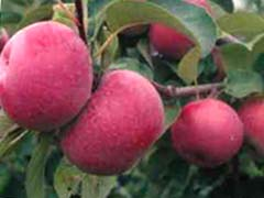 le pommes